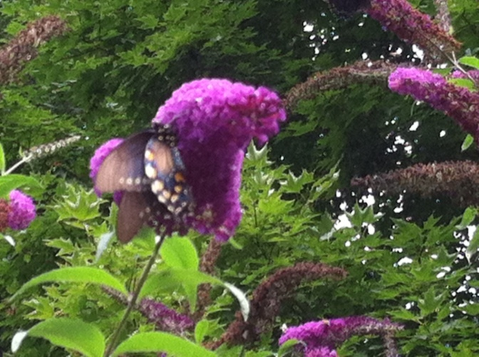 Butterfly enjoying the blossoms